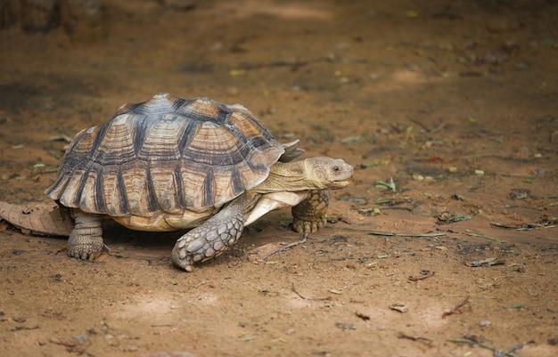 Afrikaanse aangespoorde schildpad / dichte omhooggaande schildpad het lopen