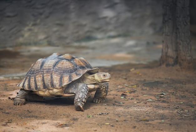 Afrikaanse aangespoorde schildpad lopen