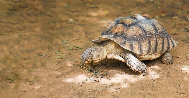 Afrikaanse aangespoorde schildpad - sluit schildpad omhoog het lopen