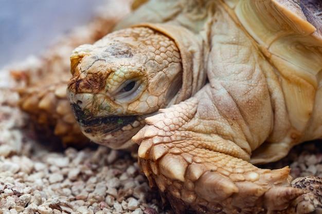 Afrikaanse aangespoorde sulcata tortoise geochelone sulcata