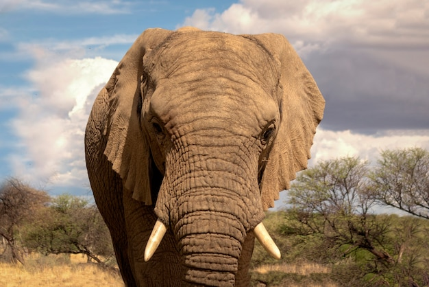 Afrikaanse bush-olifant in het grasland van etosha national park, namibië. afrika