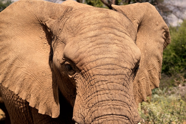 Afrikaanse bush-olifant in het grasland van etosha national park, namibië.