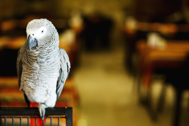 Afrikaanse grijze papegaai of congo-afrikaanse
