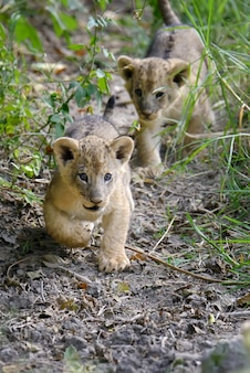 Afrikaanse leeuwenwelp in nationaal park van kenia, afrika