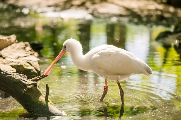 Afrikaanse lepelbekvogel die zich in water in dierentuin bevindt