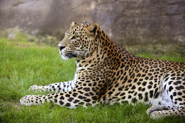 Afrikaanse luipaard op groen gras