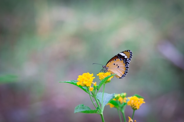 Afrikaanse monarchvlinder