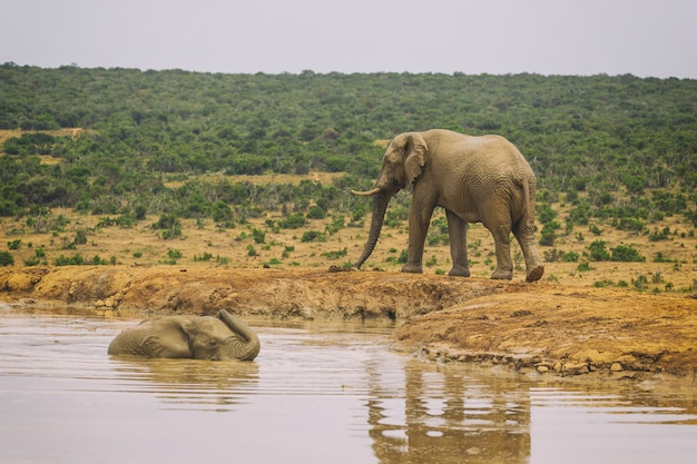 Afrikaanse olifant die in het meer in het nationale park van addo, zuid-afrika zwemt