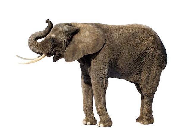 Afrikaanse olifant geïsoleerd