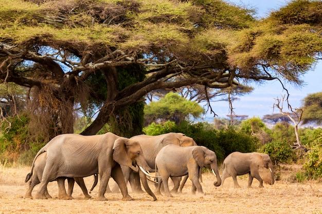 Afrikaanse olifanten in amboseli national park. kenia, afrika.