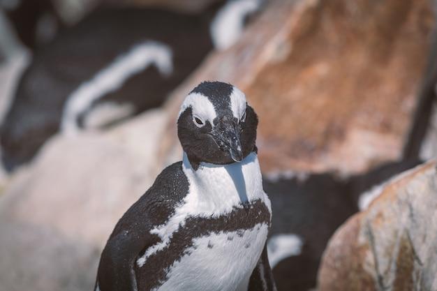 Afrikaanse pinguïn bij pinguïnkolonie in betty's baai, zuid-afrika