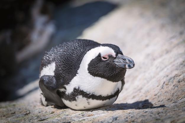 Afrikaanse pinguïn die op de rots in zuid-afrika legt