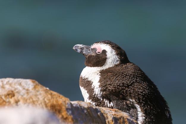 Afrikaanse pinguïn ontspannen op de rots in zuid-afrika