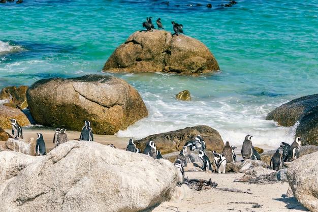 Afrikaanse pinguïnkolonie bij keienstrand, zuid-afrika