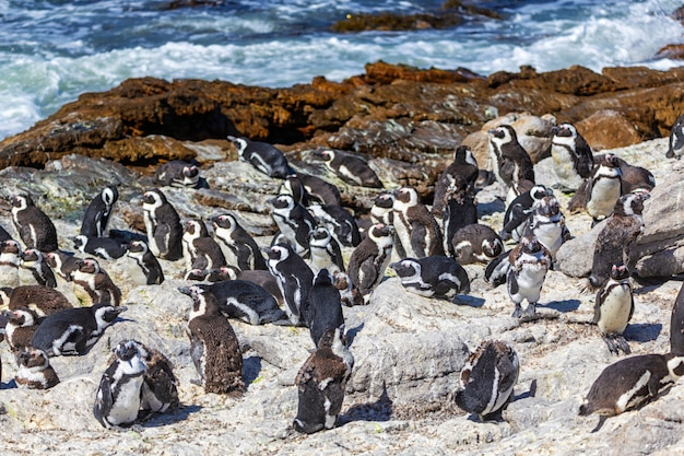 Afrikaanse pinguïnkolonie op stony-punt in de baai van betty, zuid-afrika