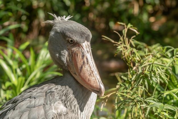 Afrikaanse shoebill, balaeniceps rex, ook bekend als whalehead of shoe-billed stork