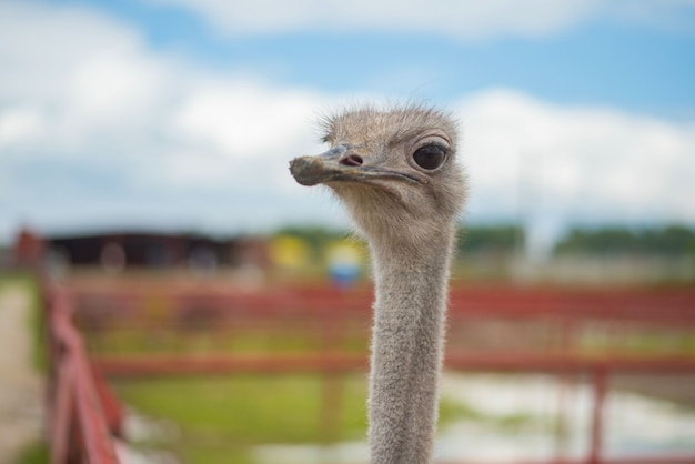 Afrikaanse struisvogel in de russische struisvogelboerderij op de zomer