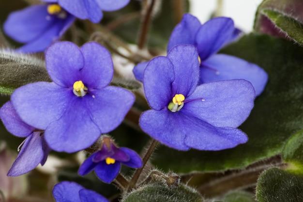Afrikaanse violet, paarse bloemen, close-up op een witte achtergrond.