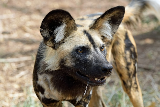 Afrikaanse wil hond