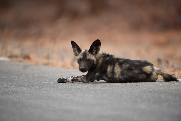 Afrikaanse wilde hond die op de weg rust