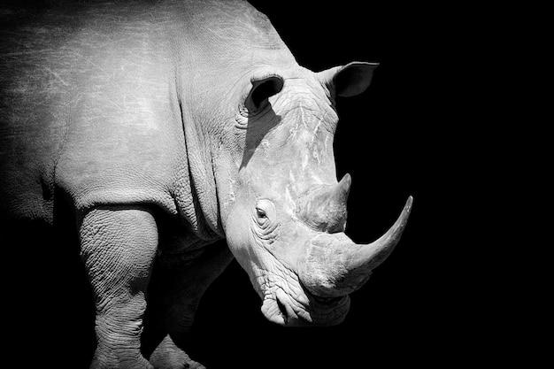 Afrikaanse witte neushoorn op donkere achtergrond. zwart-wit beeld