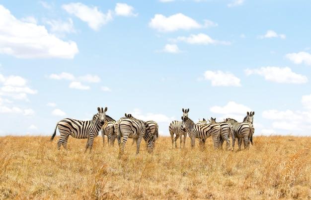 Afrikaanse zebra in een safaripark