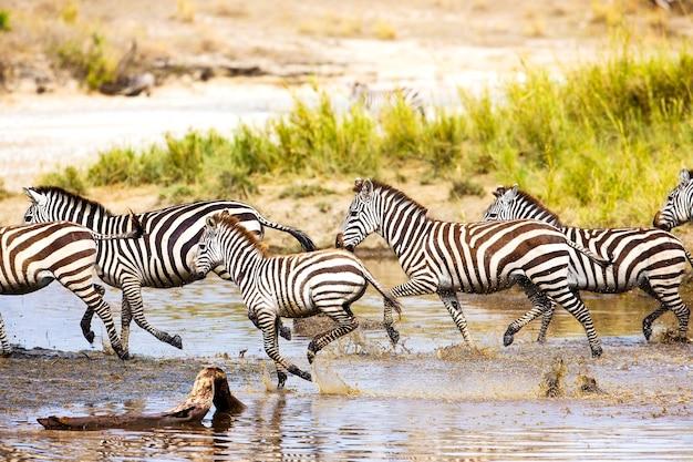 Afrikaanse zebra rennen in serengeti tanzania, afrika. samen rennen in het water.