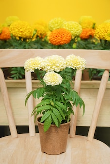Afrikaantje erecta, mexicaanse goudsbloem, goudsbloem potplant op houten stoel
