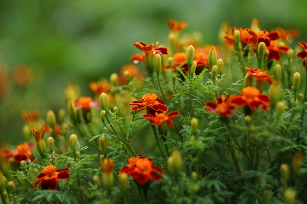 Afrikaantje patula. franse goudsbloem. veel bloemen in oranje en bruine kleuren.