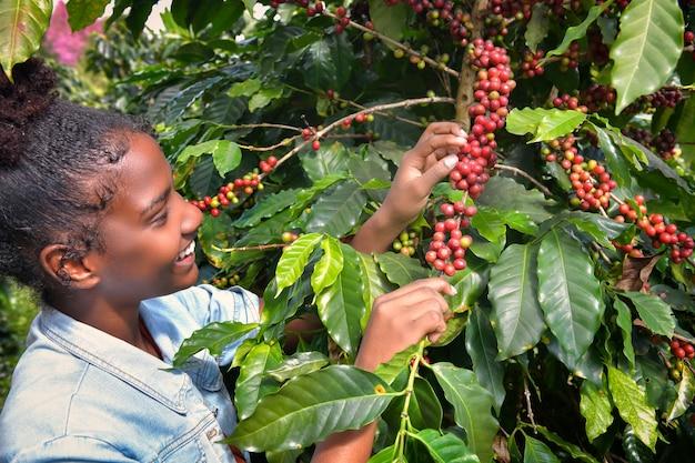 Afro-amerikaanse vrouw arabica koffiebonen verzamelen op de koffieboom in zijn boerderij