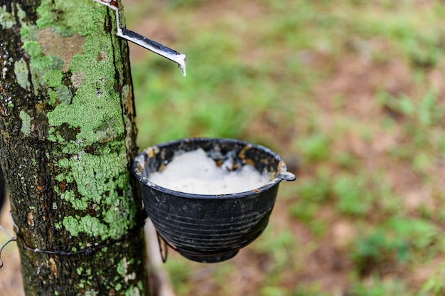 Aftappen van latex rubberboom, rubber latex gewonnen uit rubberboom, oogst in thailand.