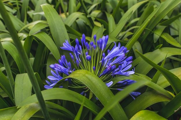 Agapanthus-bloemen in aard
