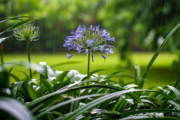 Agapanthus praecox, blauwe leliebloem tijdens tropische regen, sluit omhoog.