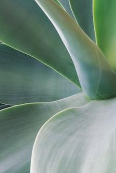 Agave blad textuur achtergrond