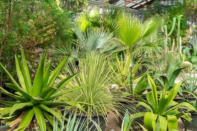 Agave en cactussen in de natuur.