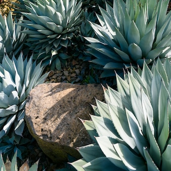 Agave parryi close-up
