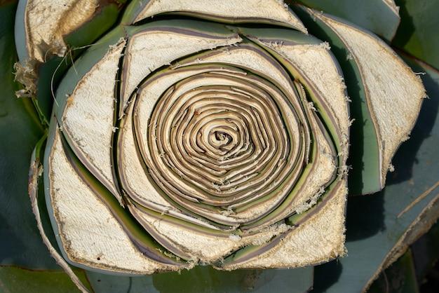 Agave van mediterrane snij bladeren textuur