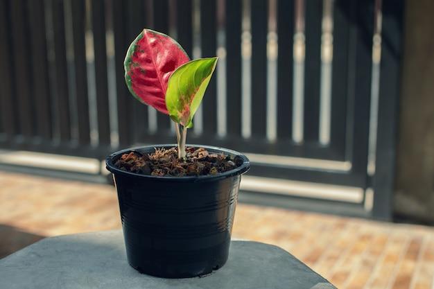 Aglaonema super red in een zwarte plastic pot