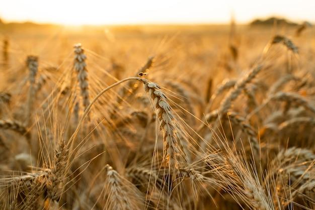 Agrarisch gebied. rijpe korenaren. het concept van een rijke oogst.