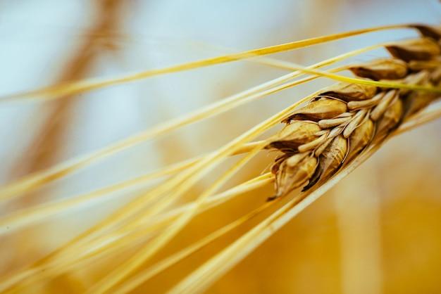 Agrarisch gebied. rijpe oren van gerst. het concept van een rijke oogst.