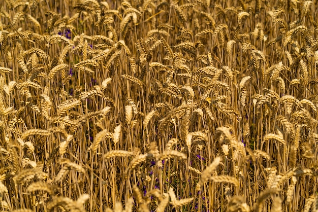 Agrarisch tarweveld.