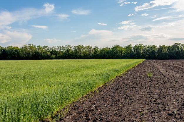 Agrarisch veld met jonge spruiten van graancultuur en geploegd ongezaaid veld. braakliggende concept.