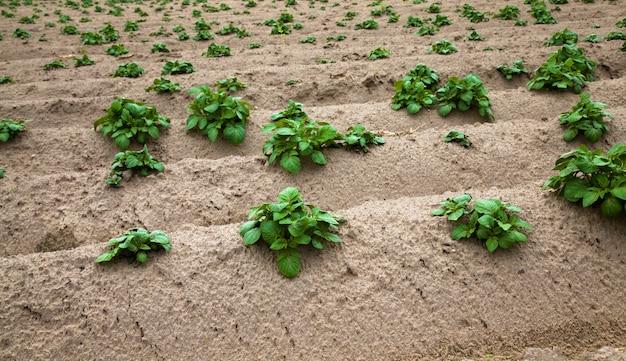Agrarisch veld waar aardappelen worden verbouwd