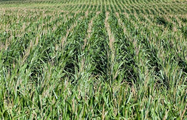 Agrarisch veld waar groene maïs groeit op warme zomerdagen industriële productie van maïskorrels voor de voedingsindustrie en veeteelt