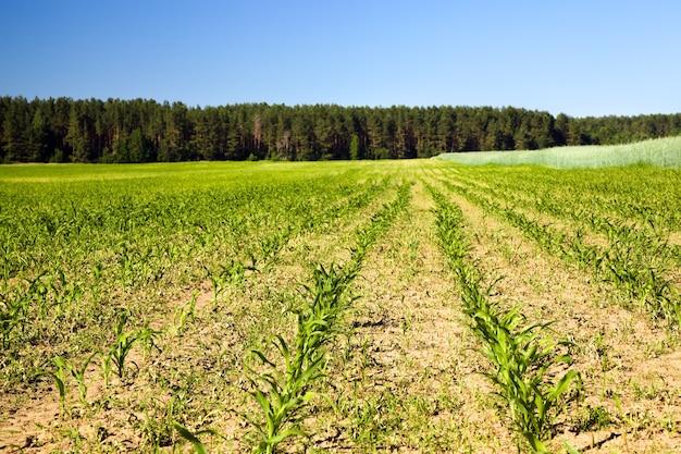 Agrarisch veld waar ze maïs verbouwen