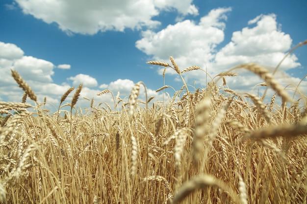 Agrarische achtergrond. rijpe gouden aartjes van tarwe in het veld