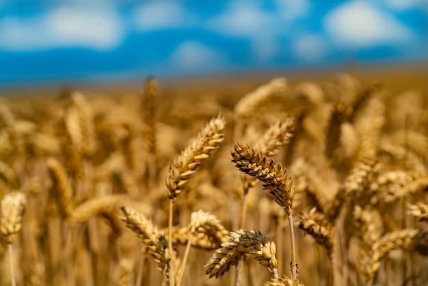 Agrarische tarweveld
