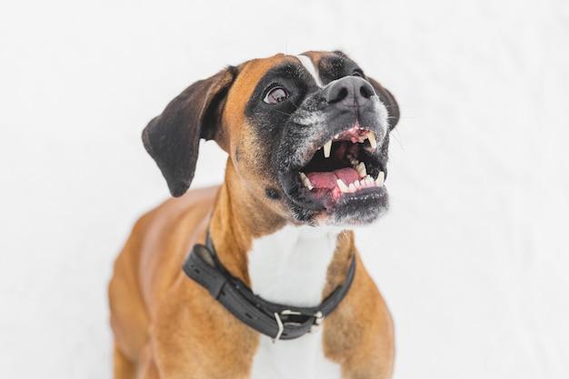 Agressieve hond zittend op de sneeuw. bruine stamboomhond. bokser