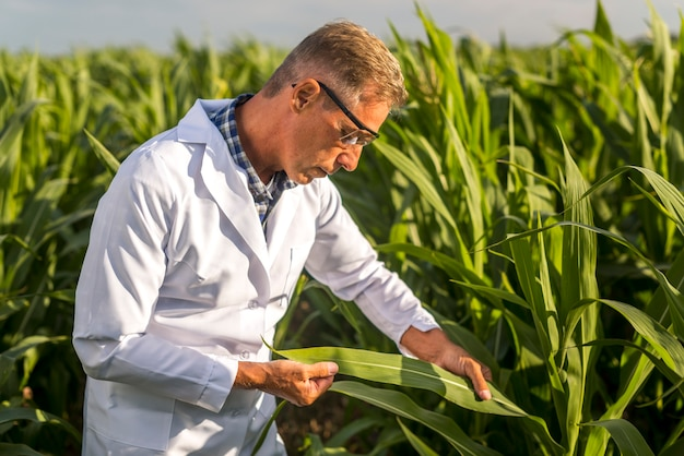 Agronoom die een maïsblad bekijkt