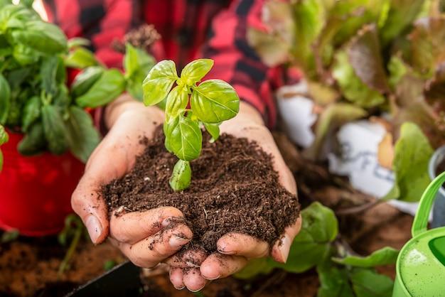 Agronoom houdt in zijn handen een klein basilicumplantconcept van zorg en wedergeboorte van de natuur